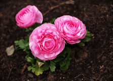 Ranunculus Pink. Also known as the Persian Buttercup (Pink). Photographed in its natural setting on a typical rainy Seattle day. Lighting is supplemented with a royalty free stock photos