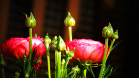 Ranunculus 'Pink Picotee'(Persian Buttercup) flower Stock Photos