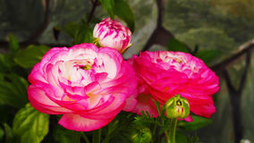 Ranunculus 'Pink Picotee'(Persian Buttercup) flower Stock Images