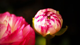 Ranunculus 'Pink Picotee'(Persian Buttercup) flower Stock Photography