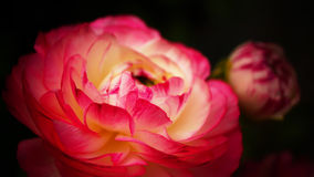 Ranunculus 'Pink Picotee'Persian Buttercup flower Stock Photo