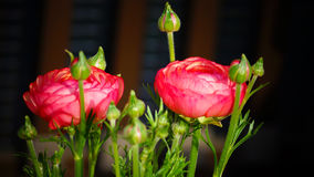 Ranunculus 'Pink Picotee'(Persian Buttercup) flower Stock Image