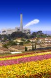 Ranunculus And Power Plant. 50 acres of Ranunculus Overlooking The Ocean, Historic Highway 101 And An Older Power Plant Fired With Obsolete And Inefficient Gas Stock Images