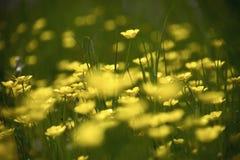 Ranunculus Prato dei fiori gialli del ranuncolo su erba verde immagini stock libere da diritti