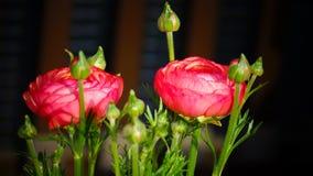 Ranunculus 'Różowy Picotee'Persian jaskieru) kwiat Fotografia Royalty Free
