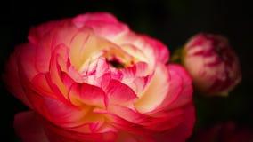 Ranunculus 'Różowy Picotee'Persian jaskieru kwiat Zdjęcie Stock