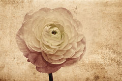 Ranunculus retro kaart Stock Afbeeldingen