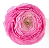 Ranunculus rosa immagini stock libere da diritti