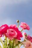 Ranunculus rosa e bianco Immagine Stock Libera da Diritti