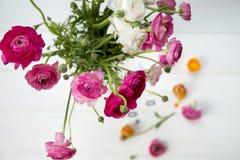 Ranunculus rosa e bianco Fotografie Stock Libere da Diritti