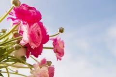Ranunculus rosa e bianco Fotografia Stock Libera da Diritti
