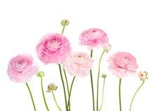 Ranunculus rose-clair de fleurs d'isolement sur le fond blanc Photo libre de droits