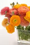 Ranunculus su bianco Fotografia Stock