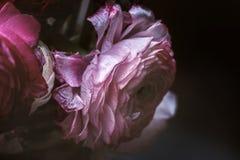 Ranunculus unique rose d'effacement grand Photos libres de droits