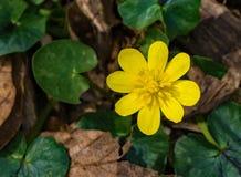 "Ranunculus van Lesser Celandine †""ficaria royalty-vrije stock foto"