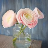 Ranunculus in a vase on a blue square  textural background stock photography