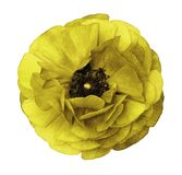 Ranunculus  yellow   Bright  flower  buttercup  on  isolated  whitebackground with clipping path without shadows. Close-up. For de Stock Image