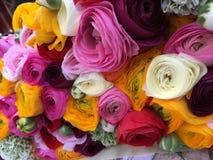 Ranunculusblandningfärg Fotografering för Bildbyråer