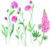 Ranunculusblumen im Aquarell Lizenzfreie Stockfotografie