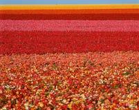 Ranunculusblumenfeld, San Diego, CA stockbild