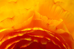 Ranunkel Flower Stock Images