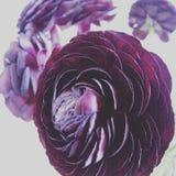 Ranunkulus scuro Fotografia Stock Libera da Diritti