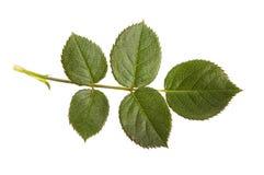 Różany liść Zdjęcia Stock