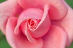 Różany menchii zbliżenie Zdjęcie Royalty Free