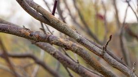 Rany na gałąź owocowy drzewo od frykcji Penetracja który oddolny należny drzewo dodatkowy niebezpieczeństwo obraz royalty free