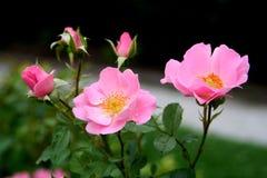 różany summerwind Zdjęcia Stock