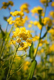 Rapa de brassica de Nanohana (moutarde de champ) Images libres de droits
