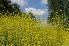 Rapa do Brassica Imagens de Stock Royalty Free