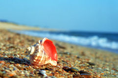 Rapa whelk shell on a sea beach close up Royalty Free Stock Photography