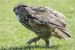 Rapace di Eagle Owl che cammina sulla terra Immagine Stock