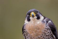 Rapace di peregrinus di Peregrine Falcon Falco immagine stock
