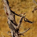 Rapace - gheppio australiano Immagine Stock Libera da Diritti