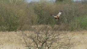 Rapace occidental masculin de Marsh Harrier (aeruginosus de cirque) pilotant alors le débarquement dans un arbre banque de vidéos