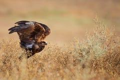 Rapaci - aeruginosus di Marsh Harrier Circus in habitat naturali immagine stock