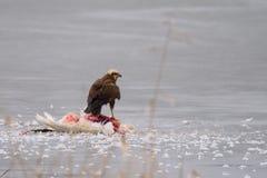 Rapaci - aeruginosus di Marsh Harrier Circus, supporti su ghiaccio con la preda fotografie stock libere da diritti