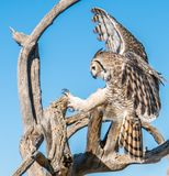 Rapaci aviari in Tucson Arizona Immagini Stock