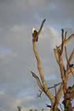 Eagle in Africa Immagini Stock