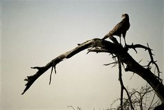 Rapacious bird. On dead tree in Namibia desert Stock Images