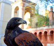 Rapacious. Young eagle on city background Stock Photos