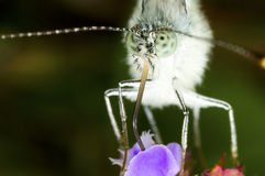 Rapae blancos del Pieris de la mariposa Imagenes de archivo