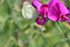 Rapae blancos del pieris de la mariposa en una flor del guisante de olor fotografía de archivo libre de regalías