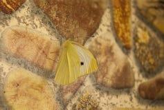 Rapae do Pieris da pimenta branca da borboleta imagens de stock royalty free