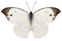 Rapae Pieris вида бабочки Стоковые Изображения