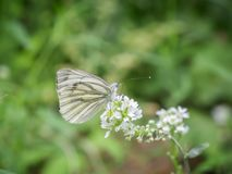 Rapae Pieris на белом цветении Стоковое Изображение