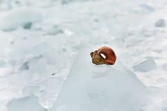 Rapan shell on ice block on the beach. Stock Photo
