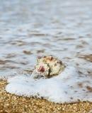 Rapana auf dem Strand stockfotografie